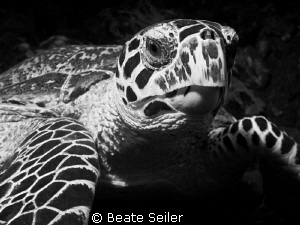 Turtle in B/W by Beate Seiler 